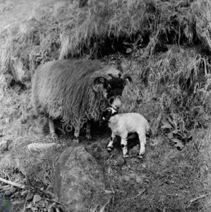 Bolton-by-Bowland, Sheep